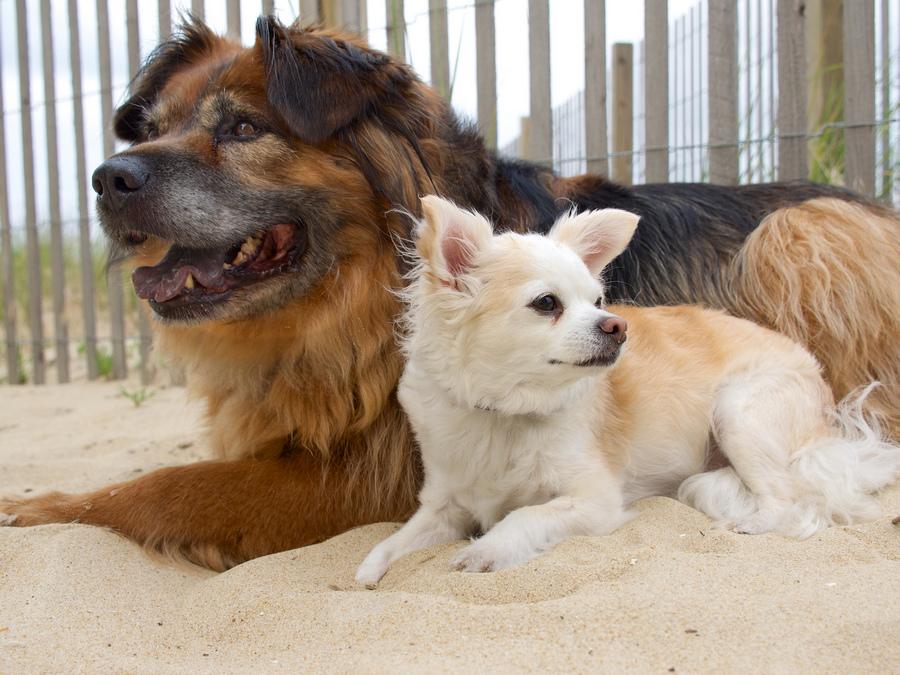 Большая и маленькая собаки лежат вместе фото