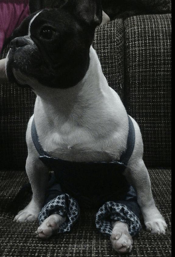 бульдог, одежда для собак, французский бульдог