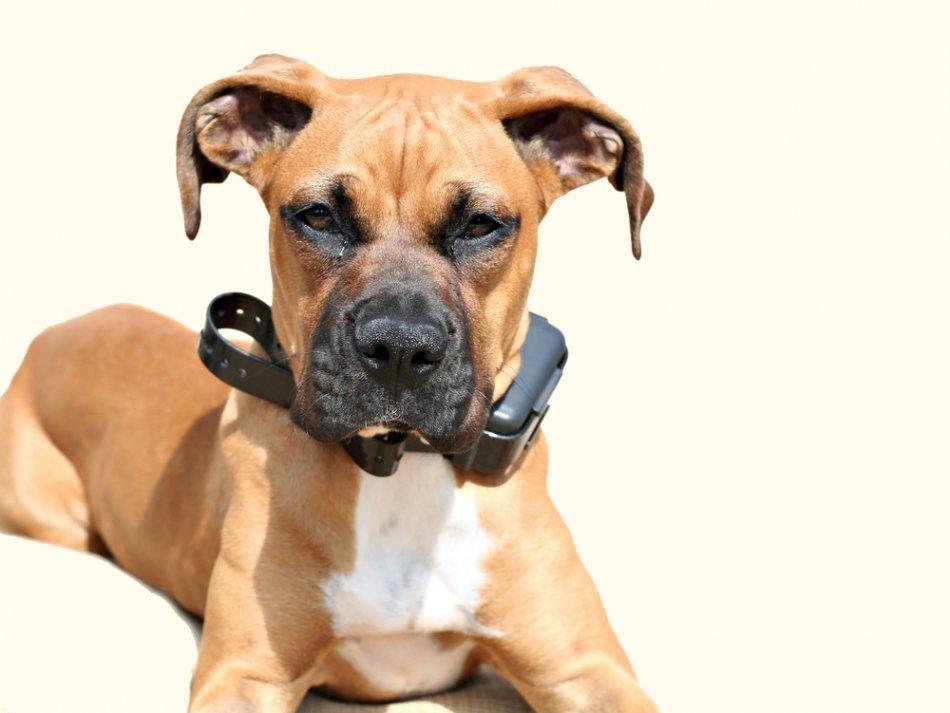 Собака в электроошейнике фото
