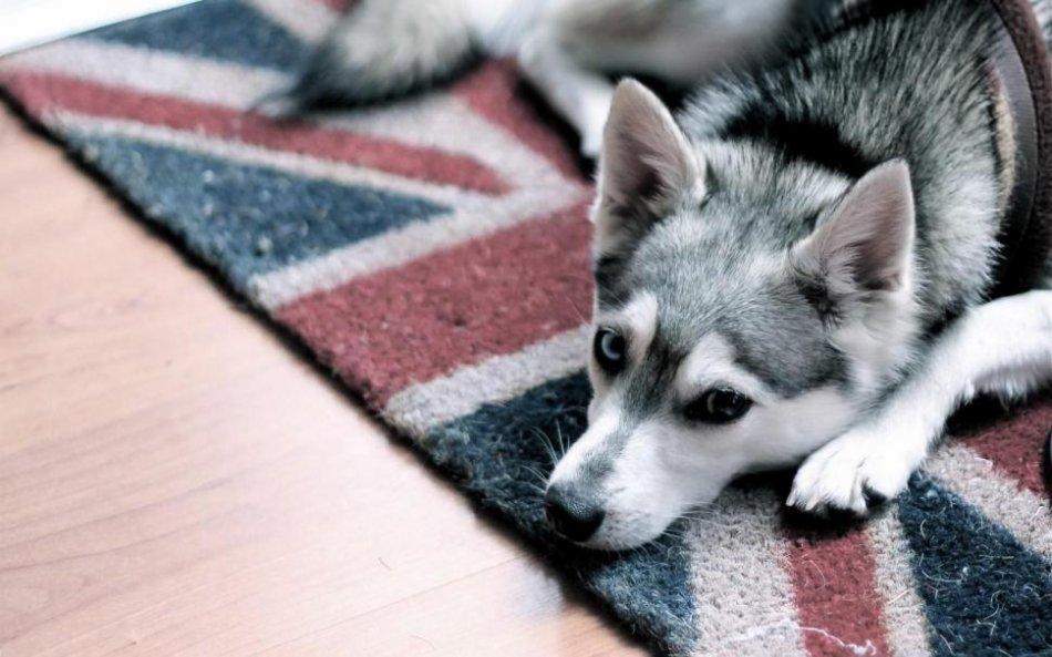 Собака на коврике с рисунком флага Великобритании фото