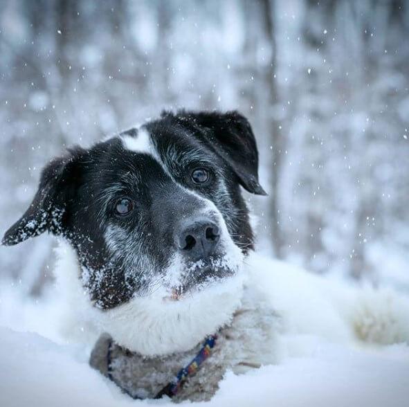 собака, снег, взгляд, печаль