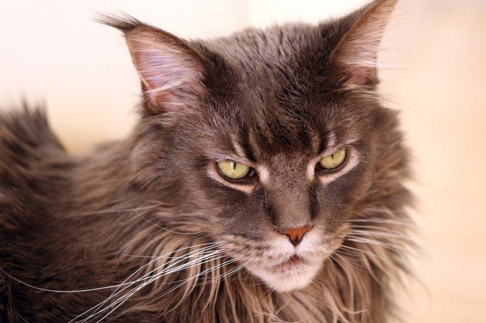 Кошка породы мейн-кун фото