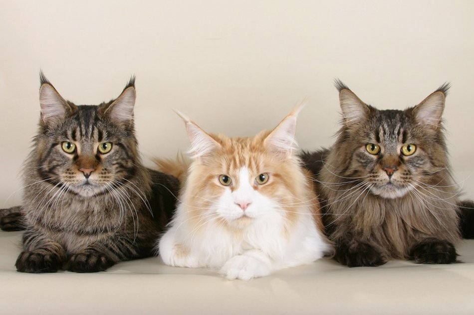 Три мейн-куна фото