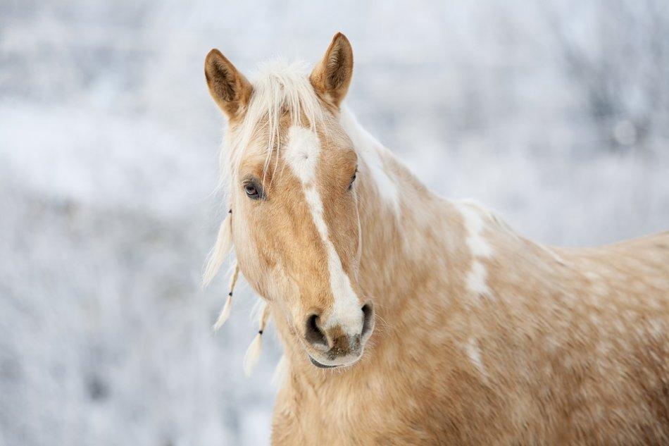 Соловая лошадь с заплетенной гривой на светлом фоне фото