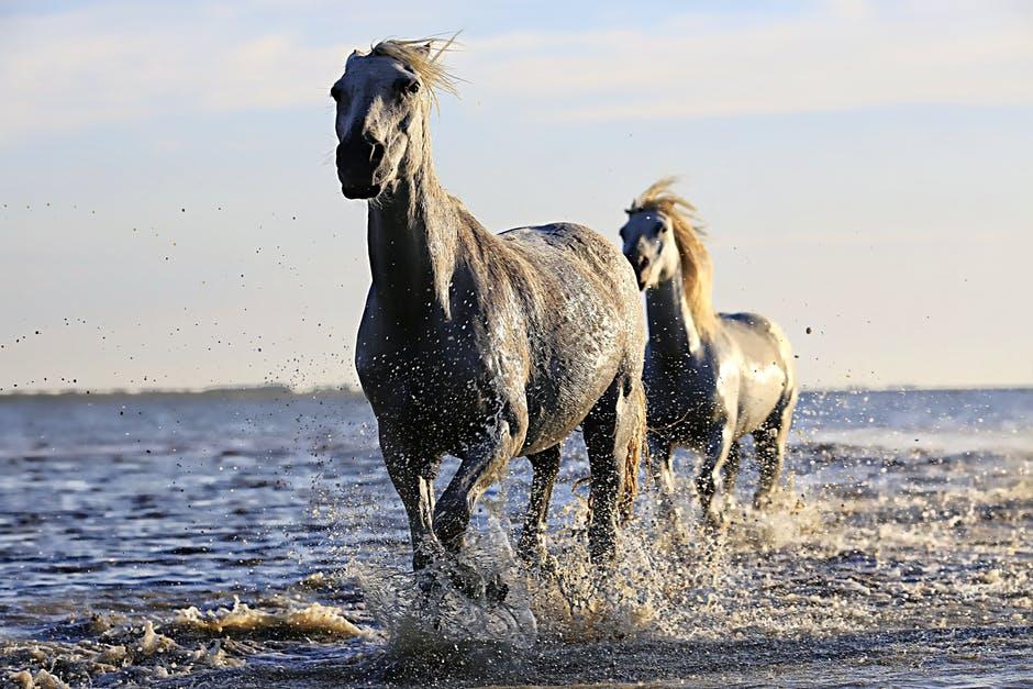 Две серые лошади бегут по воде фото