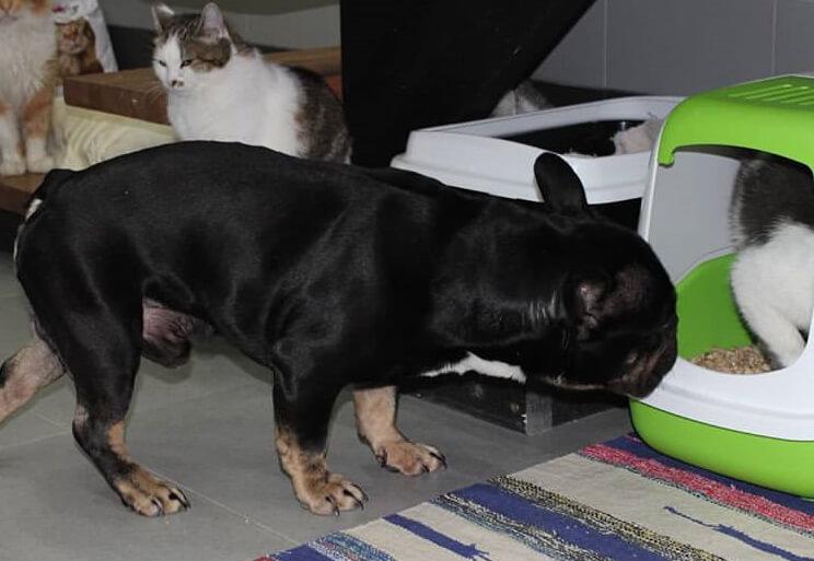 бульдог, кошки, приют, домик, французский бульдог