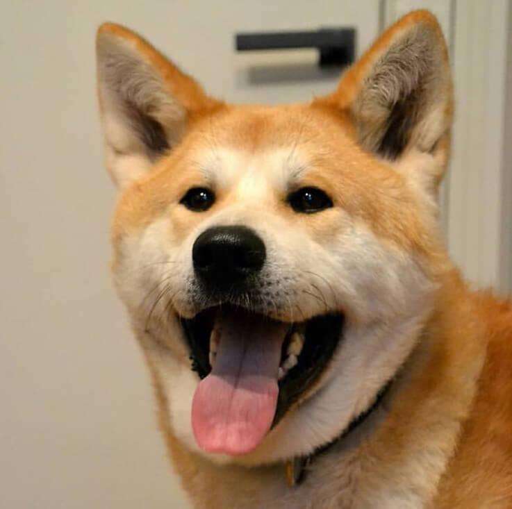 акита-ину, японская акита, пес, домашний любимец
