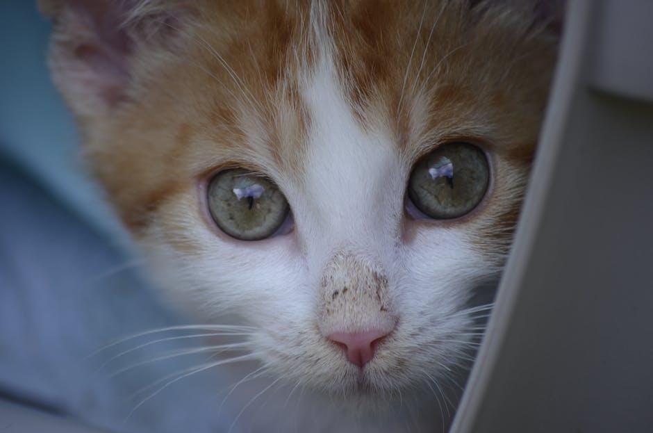 Котенок бело-рыжий смотрит в камеру фото