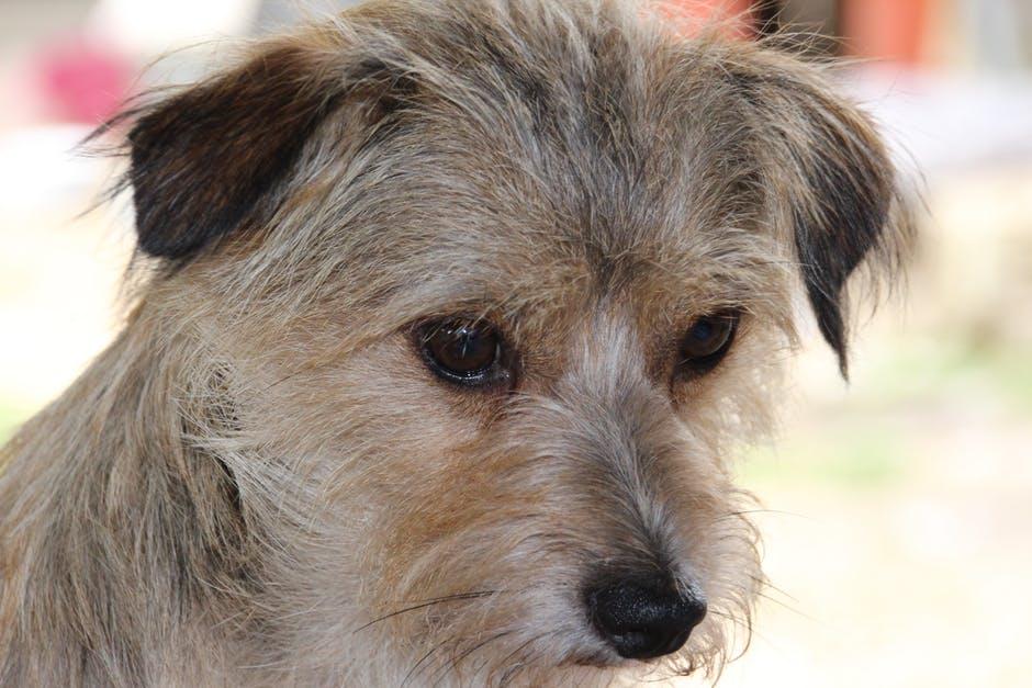 Грустная жесткошерстная собачка крупным планом фото