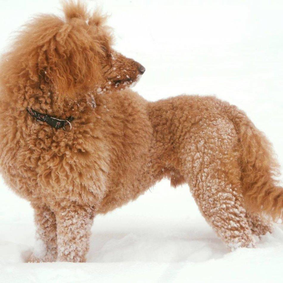 собака, зима, снег