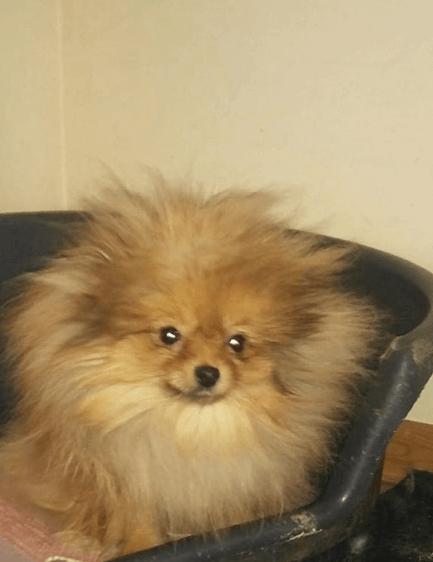 шпиц, собака, кресло, дом