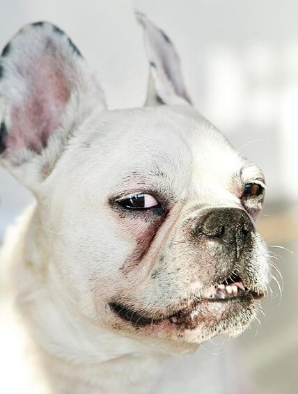 собака, улыбка, красота