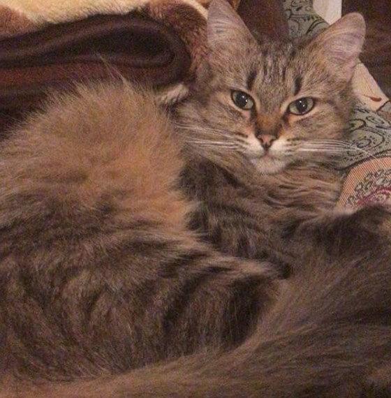 домашний питомец, кошка, диван