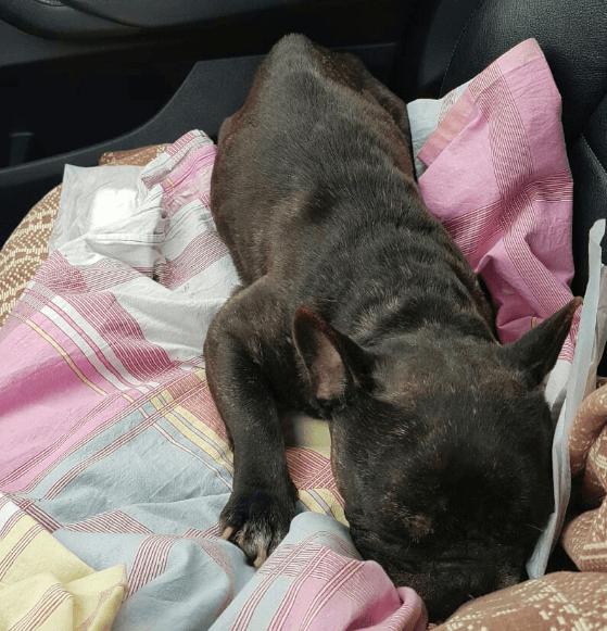 одеяло, покрывало, бульдог, собака, пес, французский бульдог