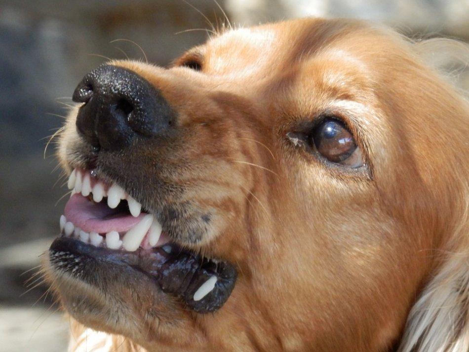 Золотистый ретривер скалит зубы агрессивен фото