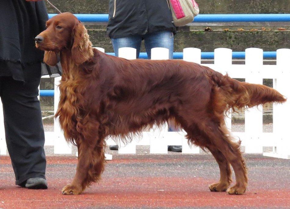 Ирландский сеттер на выставке собак фото