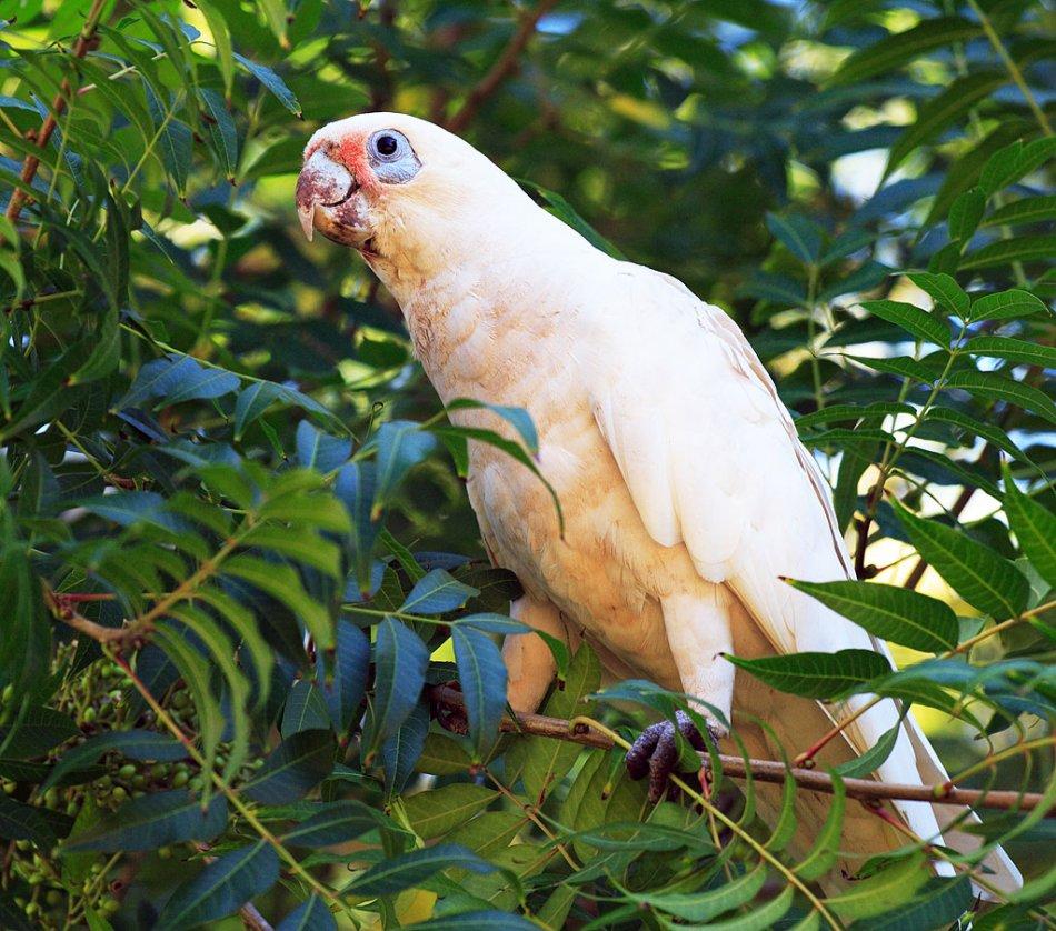 Гологлазый какаду попугай на дереве фото