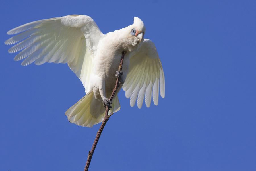 Гологлазый какаду попугай расправил крылья на фоне неба на веточке фото