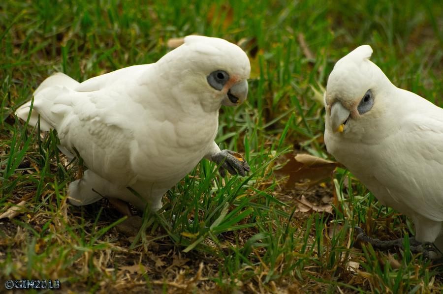 Гологлазые какаду попугаи ходят по траве фото