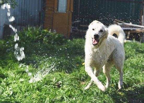 метис лабрадора, лето, трава, двор, вода, жара