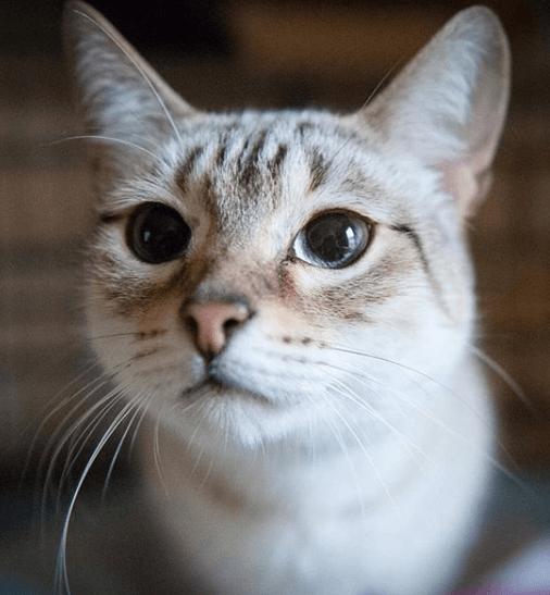кошка, бенгальская кошка, кот, питомец, домашний питомец