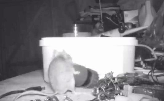 грызун, детали, мышь, съемка, видео