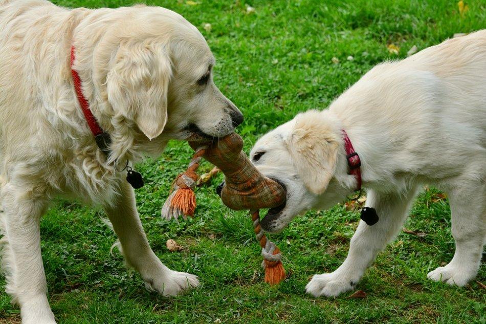 Собаки играют в перетяжку фото
