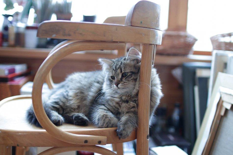 кошка, жомашнее животное, дом, кресло