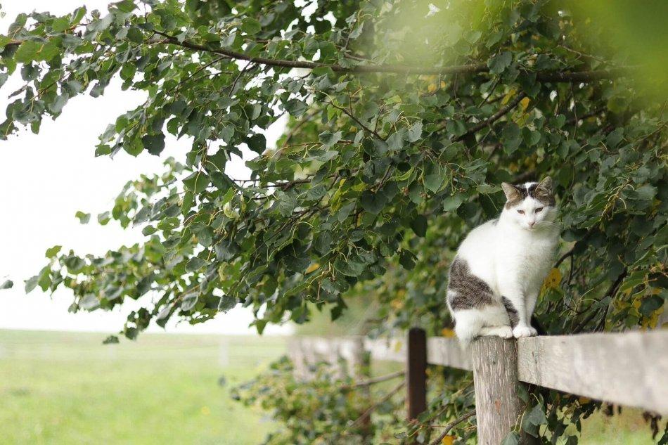 кошка, забор, лето, природа, деревня, дерево