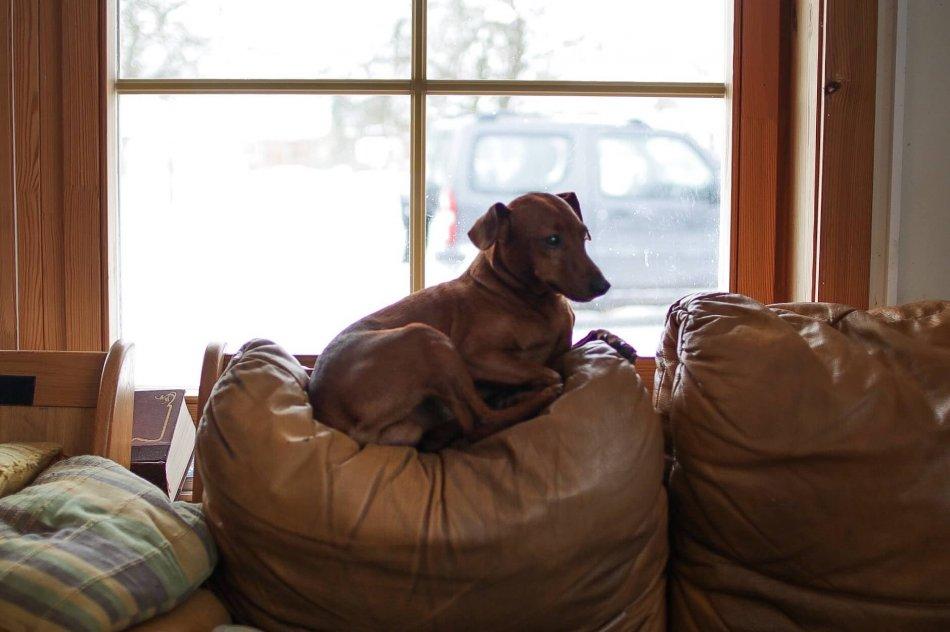 такса, кресло, окно, дом, домашнее животное