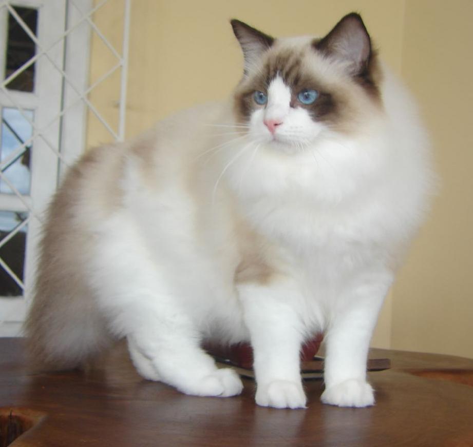 Кошка породы рэгдолл фото