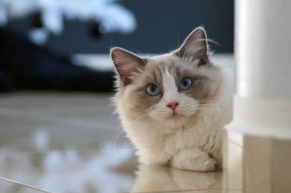 Кошка рэгдолл фото