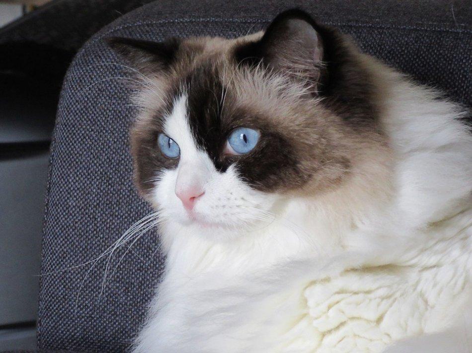 Рэгдолл кошка крупным планом фото