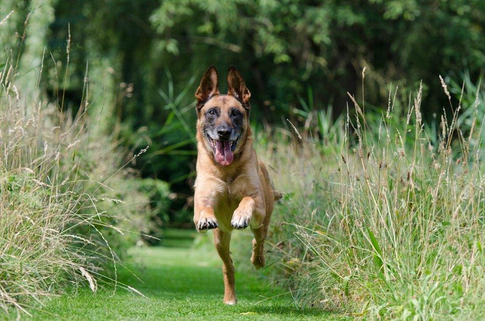 Малинуа бежит по траве фото