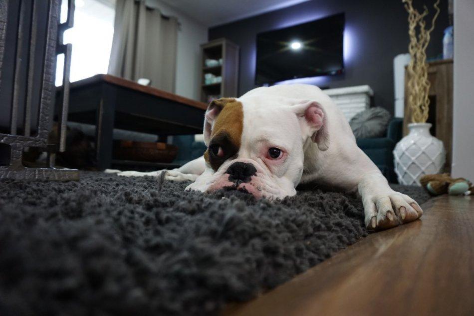 Английский бульдог грустный лежит на ковре фото