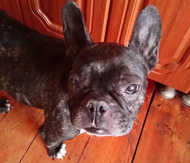 бульдог, французский бульдог, собака, пес, кухня
