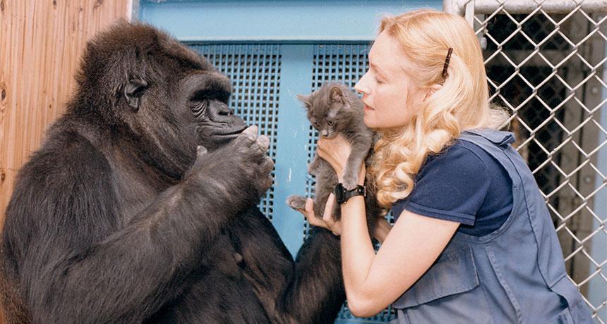 Горилла Коко и котенок фото