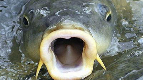 рыба, открыла рот, вода, река