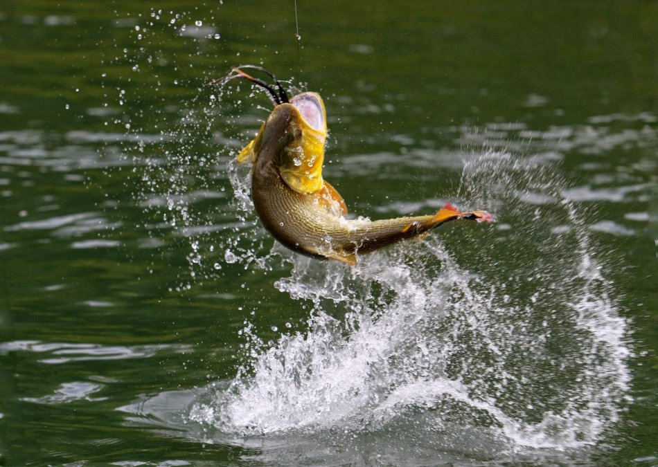 рыба, крючок, вытягивать рыбу, река, вода