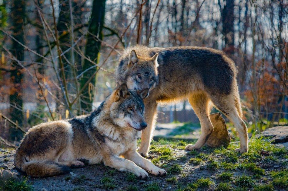 Пара волков в лесу фото