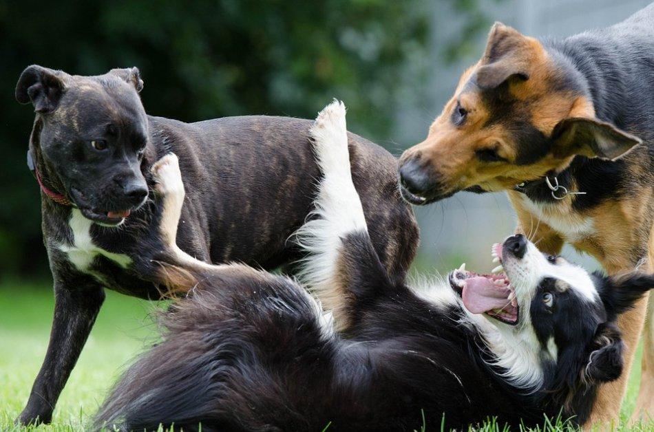 Три собаки играют фото