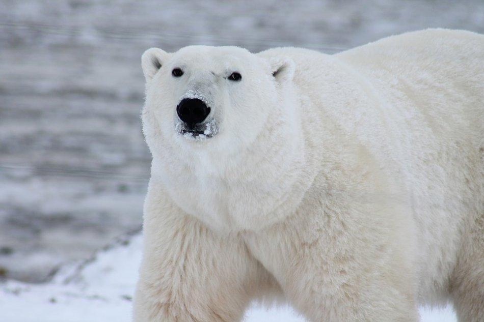 Белый медведь в Арктике фото