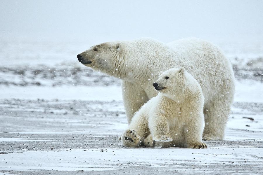 Белая медведица и медвежонок фото