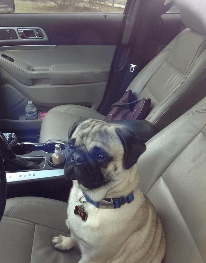 пес, собака, мопс, машина, сиденья