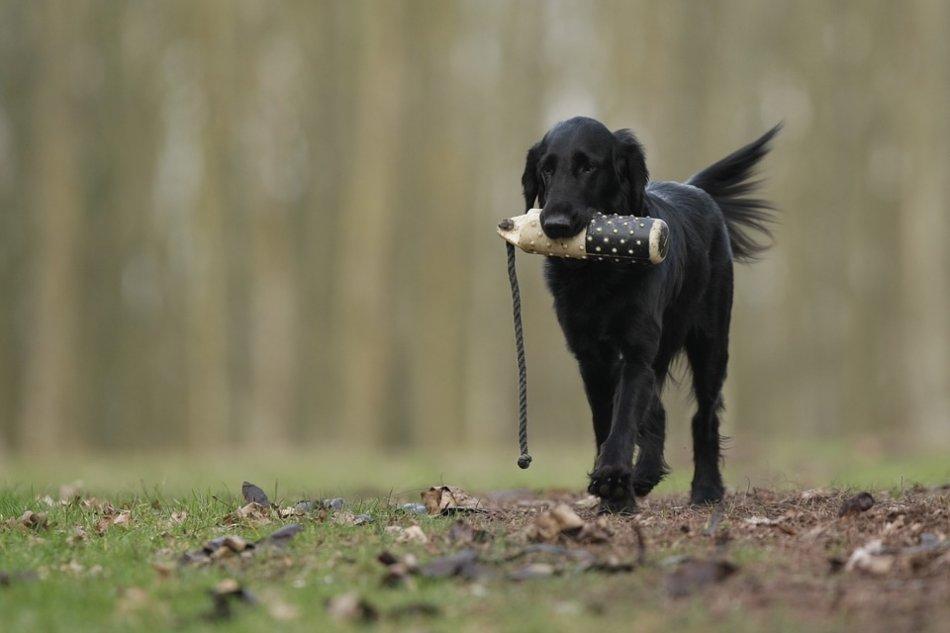 Ретривер прямошерстный собака апортировка фото