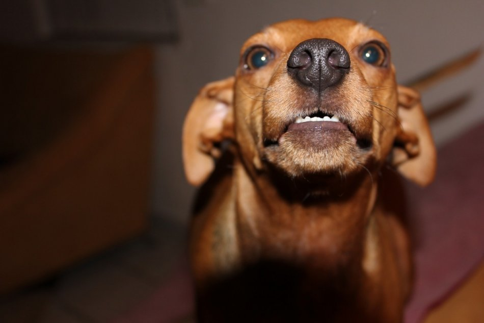 Рыжая собака рычит на хозяина фото