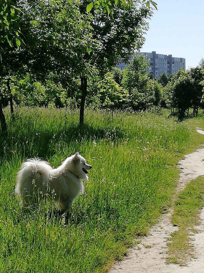 самоед, прогулка с собакой, улицца
