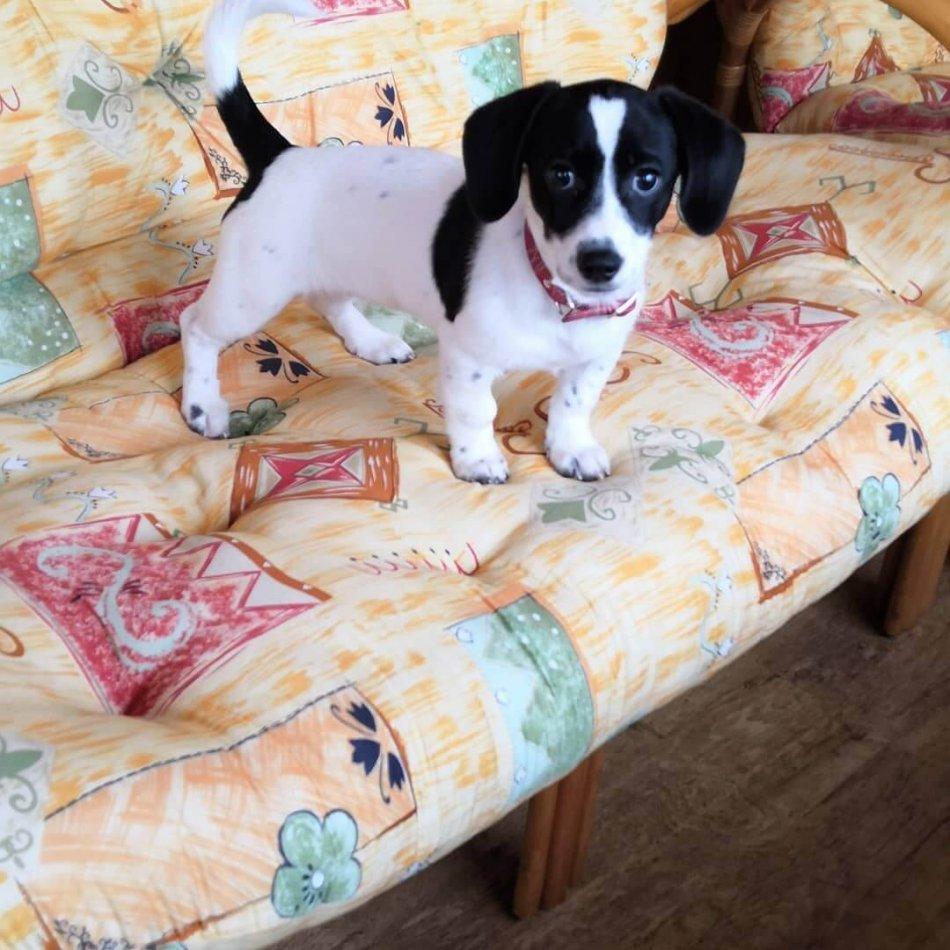 щенок, диван, питомец, дом