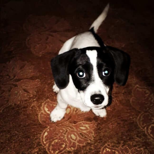 собака, спаниель, домашнее животное