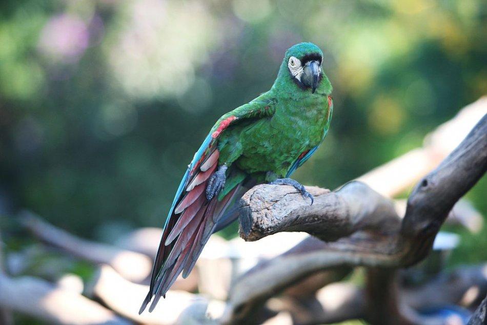 Каштановолобый ара попугай на дереве фото